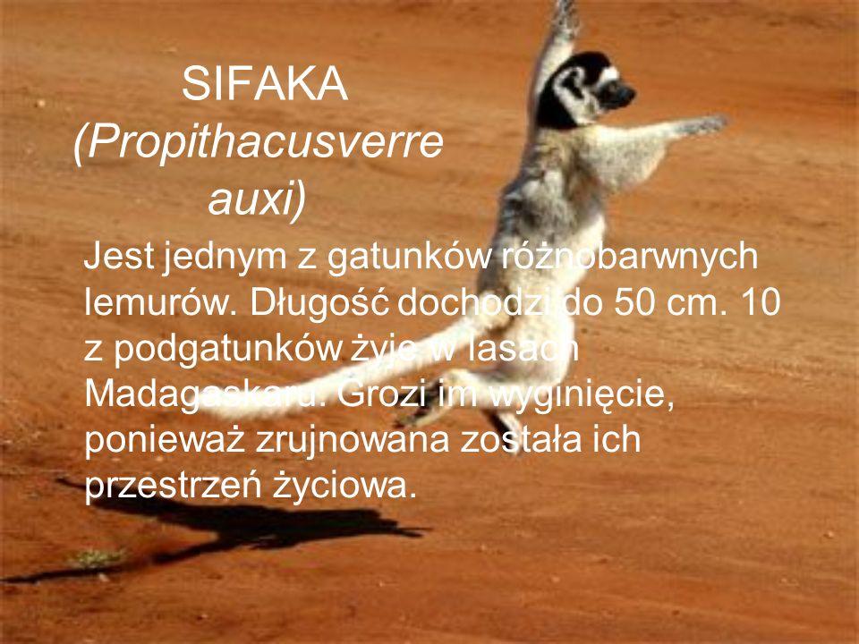 SIFAKA (Propithacusverre auxi) Jest jednym z gatunków różnobarwnych lemurów. Długość dochodzi do 50 cm. 10 z podgatunków żyje w lasach Madagaskaru. Gr