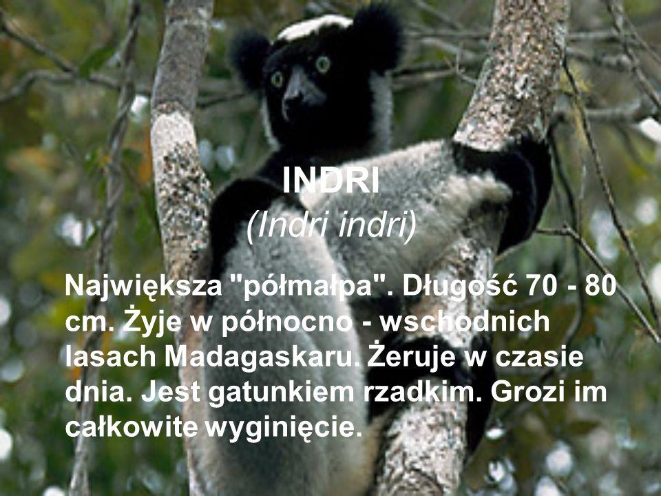 INDRI (Indri indri) Największa