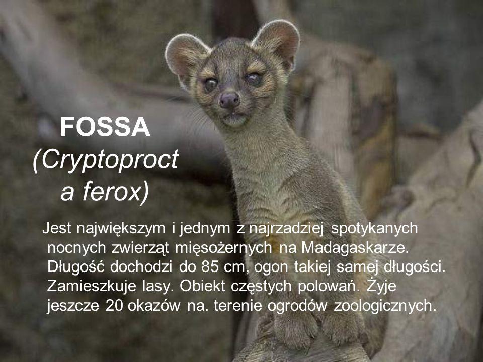 FOSSA (Cryptoproct a ferox) Jest największym i jednym z najrzadziej spotykanych nocnych zwierząt mięsożernych na Madagaskarze. Długość dochodzi do 85