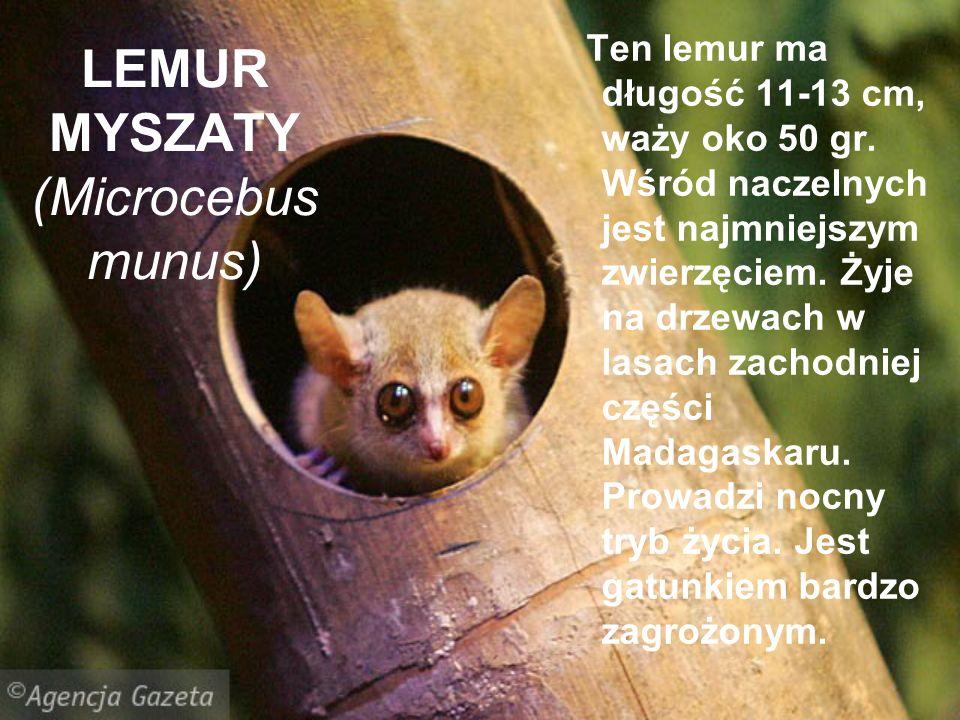 LEMUR MYSZATY (Microcebus munus) Ten lemur ma długość 11-13 cm, waży oko 50 gr. Wśród naczelnych jest najmniejszym zwierzęciem. Żyje na drzewach w las