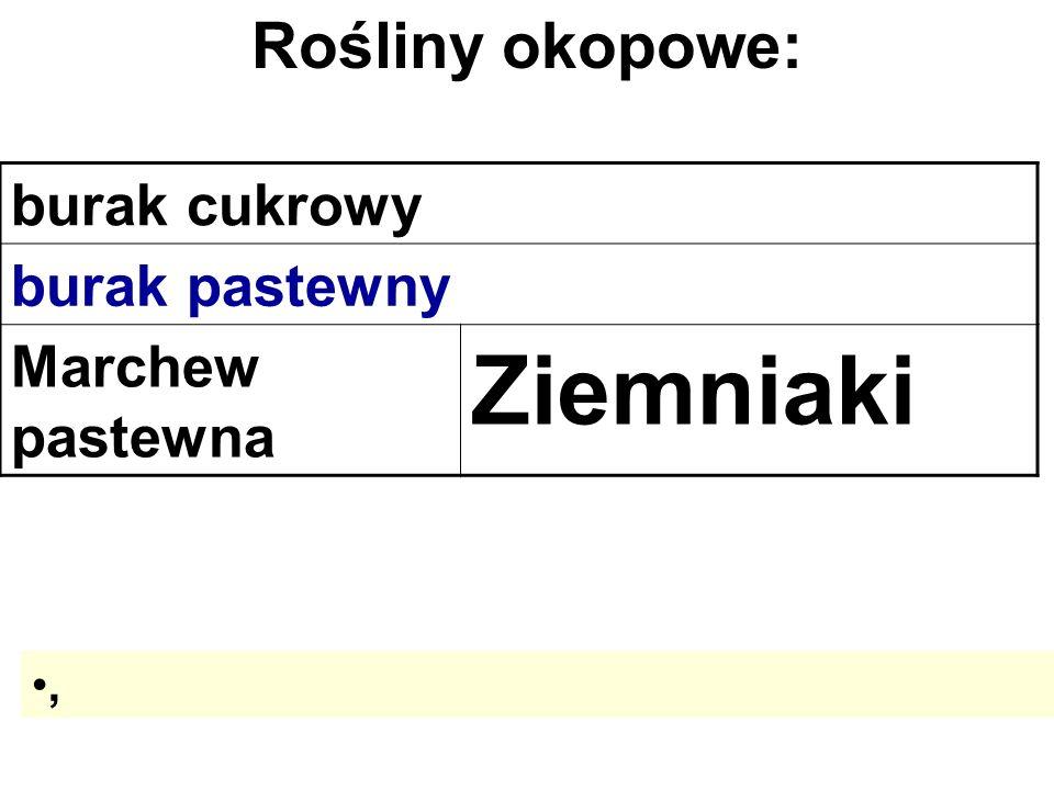 burak cukrowy burak pastewny Marchew pastewna Ziemniaki Rośliny okopowe:,