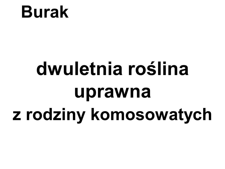 dwuletnia roślina uprawna z rodziny komosowatych Burak