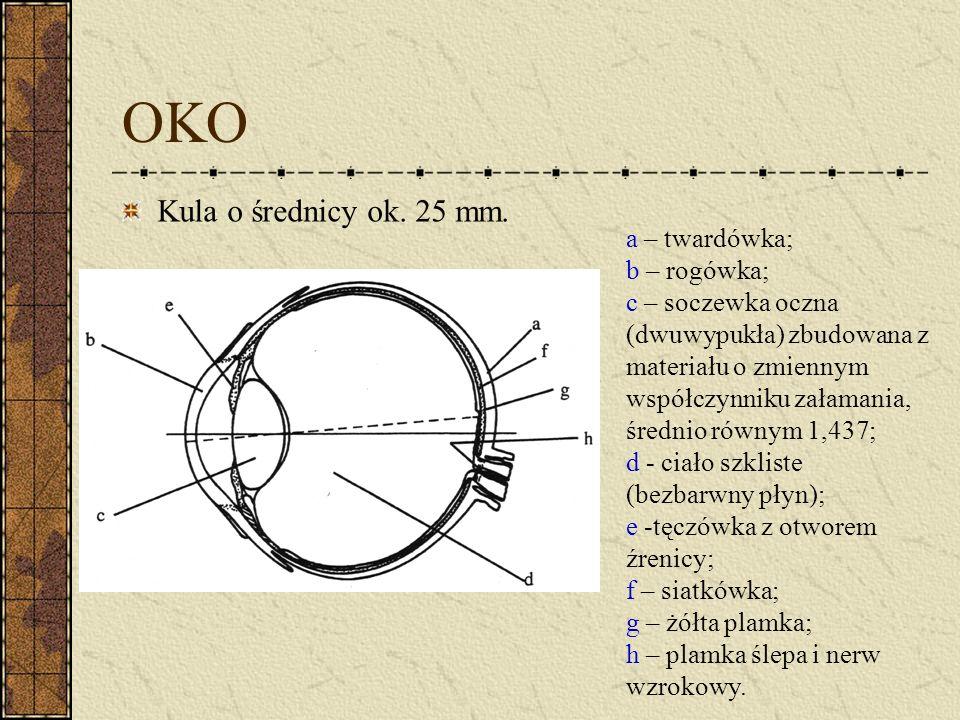 OKO Kula o średnicy ok. 25 mm. a – twardówka; b – rogówka; c – soczewka oczna (dwuwypukła) zbudowana z materiału o zmiennym współczynniku załamania, ś