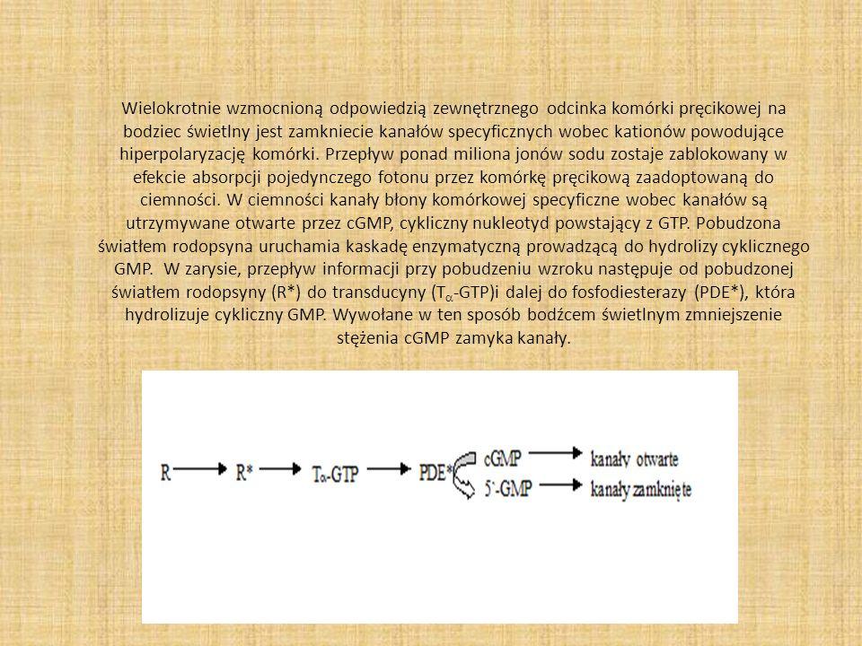Wielokrotnie wzmocnioną odpowiedzią zewnętrznego odcinka komórki pręcikowej na bodziec świetlny jest zamkniecie kanałów specyficznych wobec kationów p