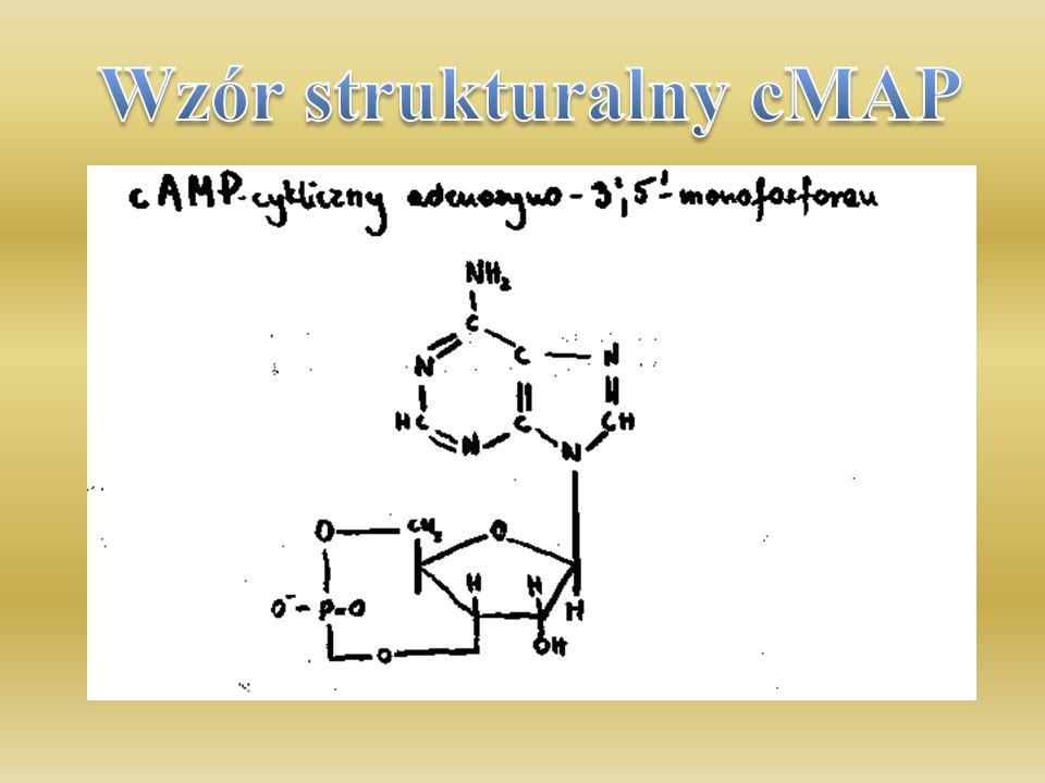 cAMP - cykliczny adenozynomonofosforan jest nukleotydem składającym się z adeniny, rybozy i fosforanu, w którym reszta fosforanowa jest przyłączona do rybozy dwoma wiązaniami estrowymi.