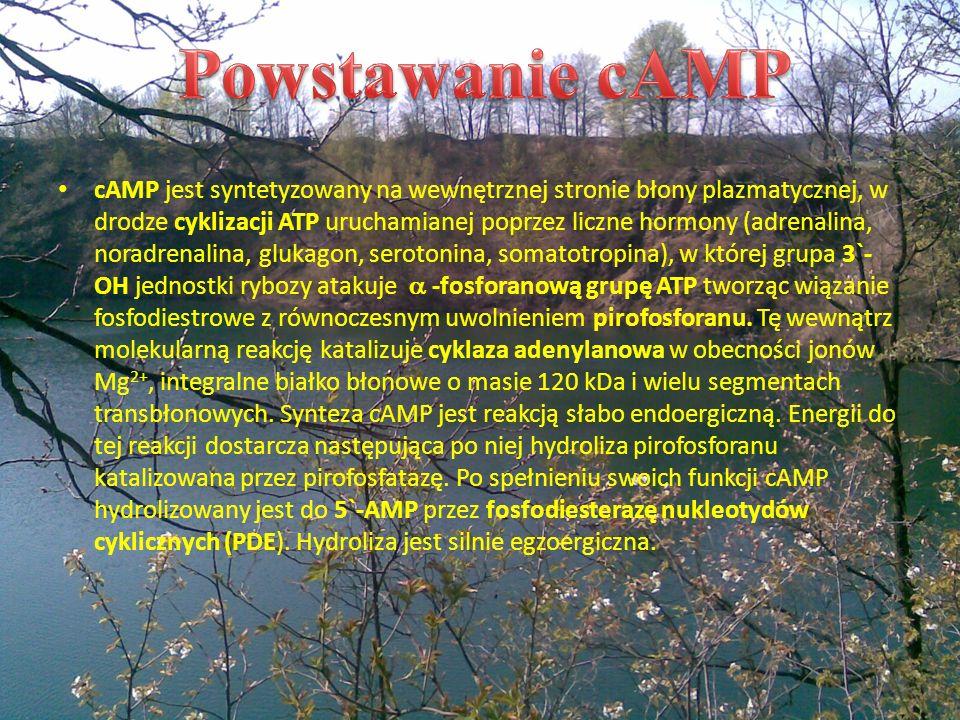 cAMP jest syntetyzowany na wewnętrznej stronie błony plazmatycznej, w drodze cyklizacji ATP uruchamianej poprzez liczne hormony (adrenalina, noradrena