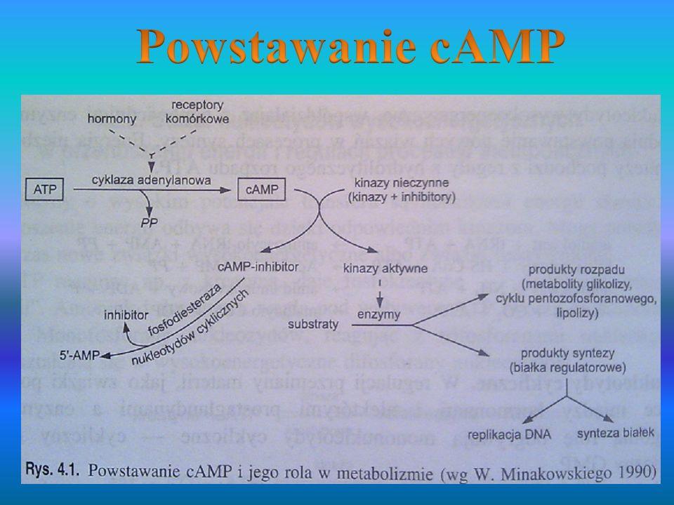 Wielokrotnie wzmocnioną odpowiedzią zewnętrznego odcinka komórki pręcikowej na bodziec świetlny jest zamkniecie kanałów specyficznych wobec kationów powodujące hiperpolaryzację komórki.