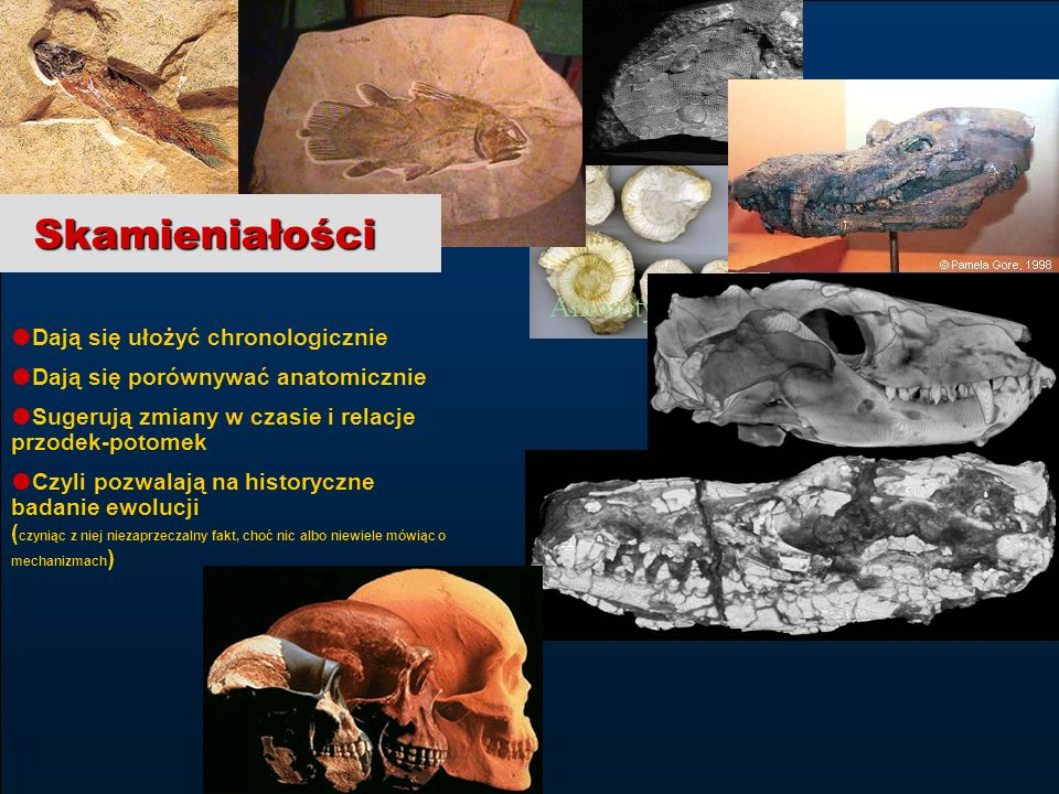 31 edukacja z internetem tpWarszawa, 3-4.12.2004 Wojciech Borkowski Amonity Tricodont Dają się ułożyć chronologicznie Dają się porównywać anatomicznie
