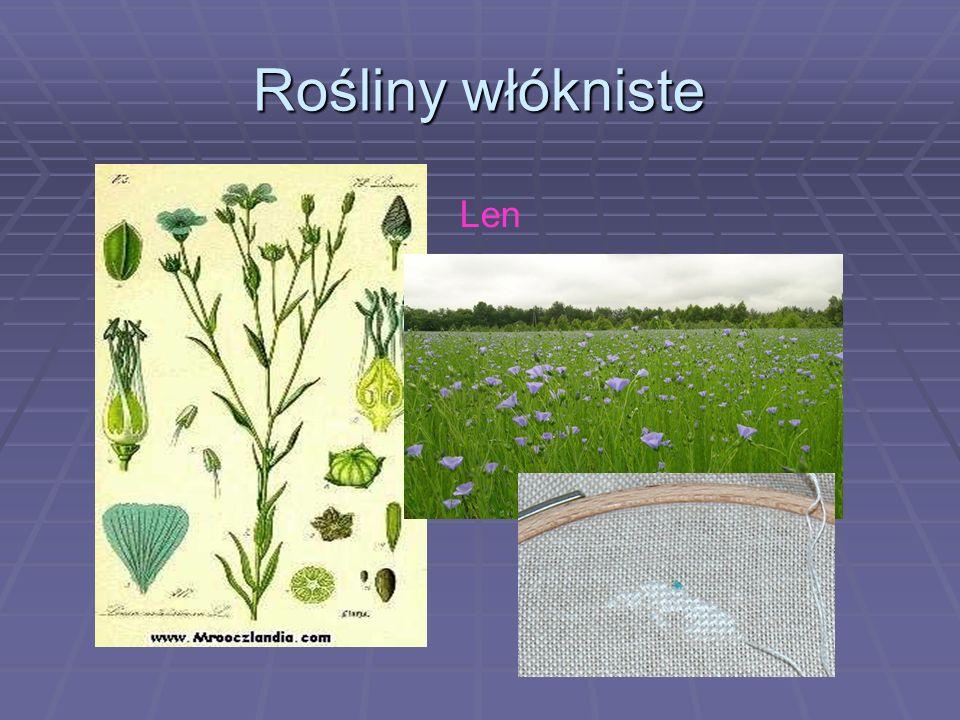 Rośliny włókniste Len