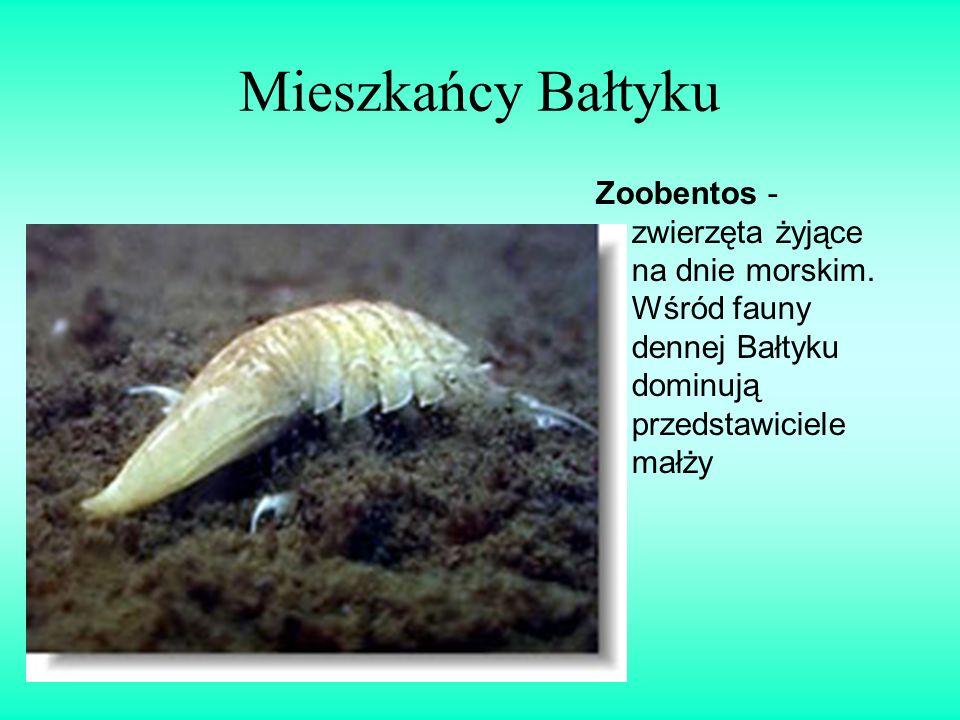 Mieszkańcy Bałtyku Zoobentos - zwierzęta żyjące na dnie morskim. Wśród fauny dennej Bałtyku dominują przedstawiciele małży