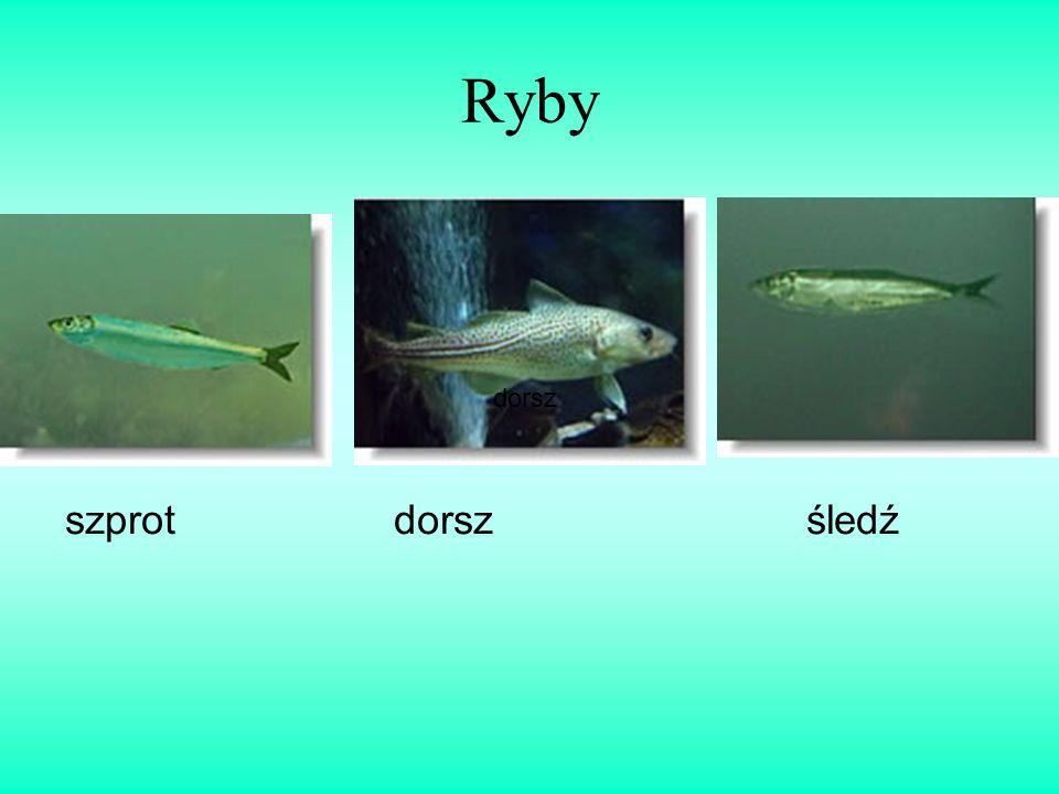 Ryby szprot dorsz śledź dorsz