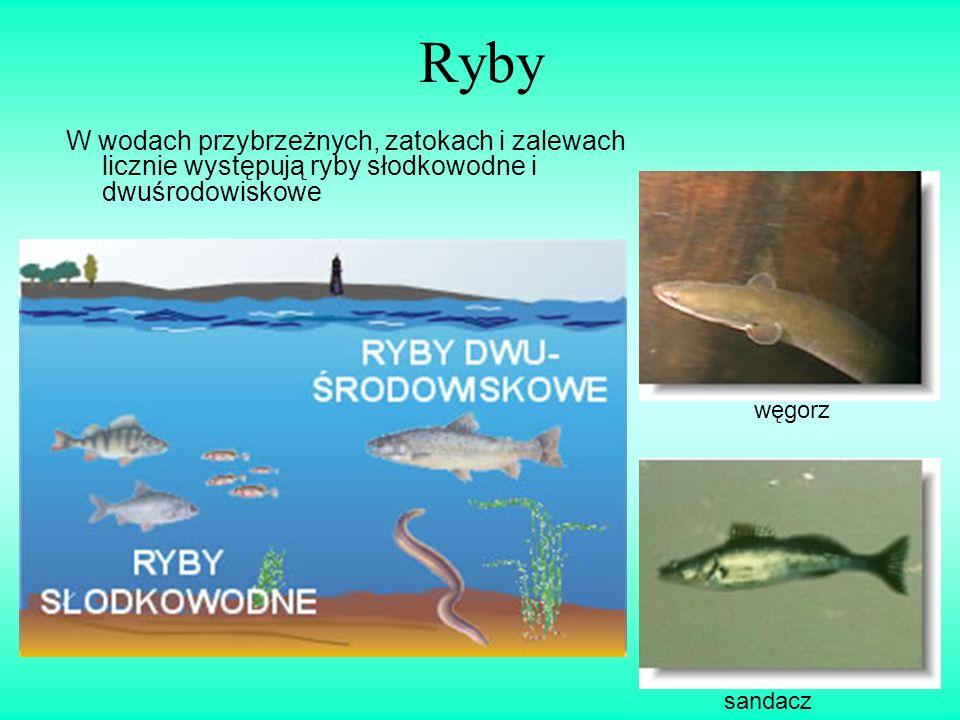 Ryby W wodach przybrzeżnych, zatokach i zalewach licznie występują ryby słodkowodne i dwuśrodowiskowe węgorz sandacz