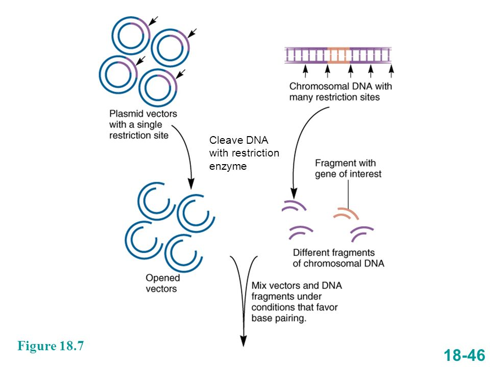 18-46 Figure 18.7 Cleave DNA with restriction enzyme