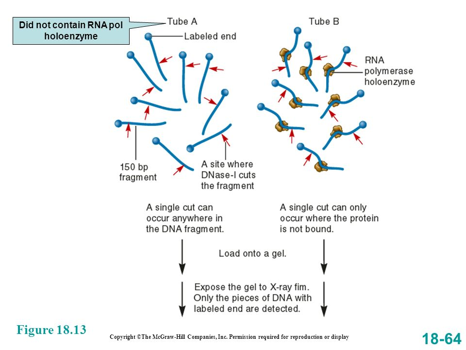 18-64 Figure 18.13 Copyright ©The McGraw-Hill Companies, Inc. Permission required for reproduction or display Did not contain RNA pol holoenzyme