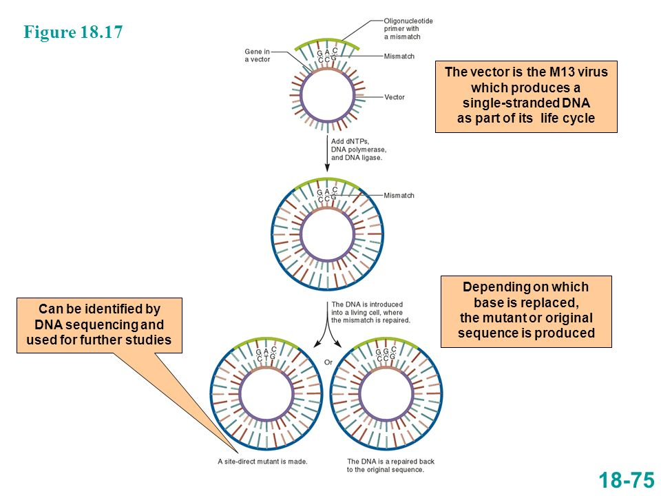 18-75 Figure 18.17 The vector is the M13 virus which produces a single-stranded DNA as part of its life cycle Depending on which base is replaced, the