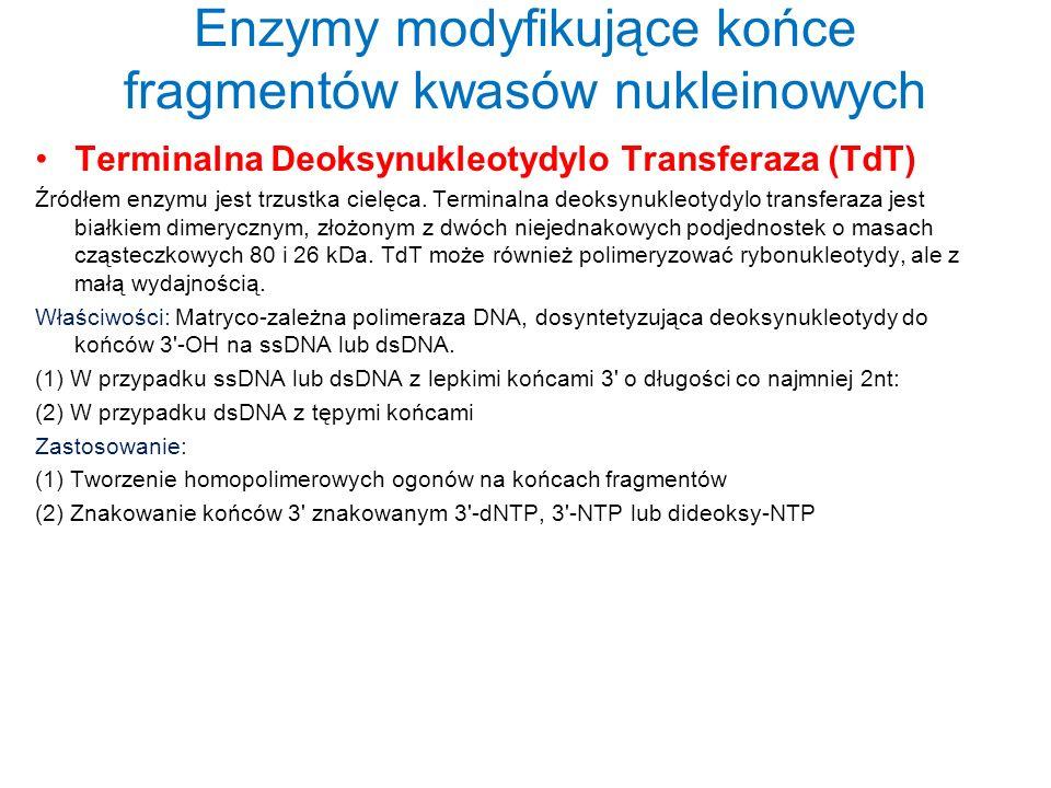 Enzymy modyfikujące końce fragmentów kwasów nukleinowych Terminalna Deoksynukleotydylo Transferaza (TdT) Źródłem enzymu jest trzustka cielęca. Termina