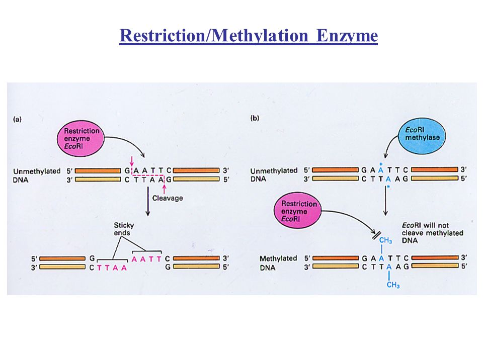 Researchers often want to study the binding of proteins to specific sites on a DNA molecule –For example, the binding to DNA of transcription factors To study protein-DNA interactions, the following two methods are used –1.