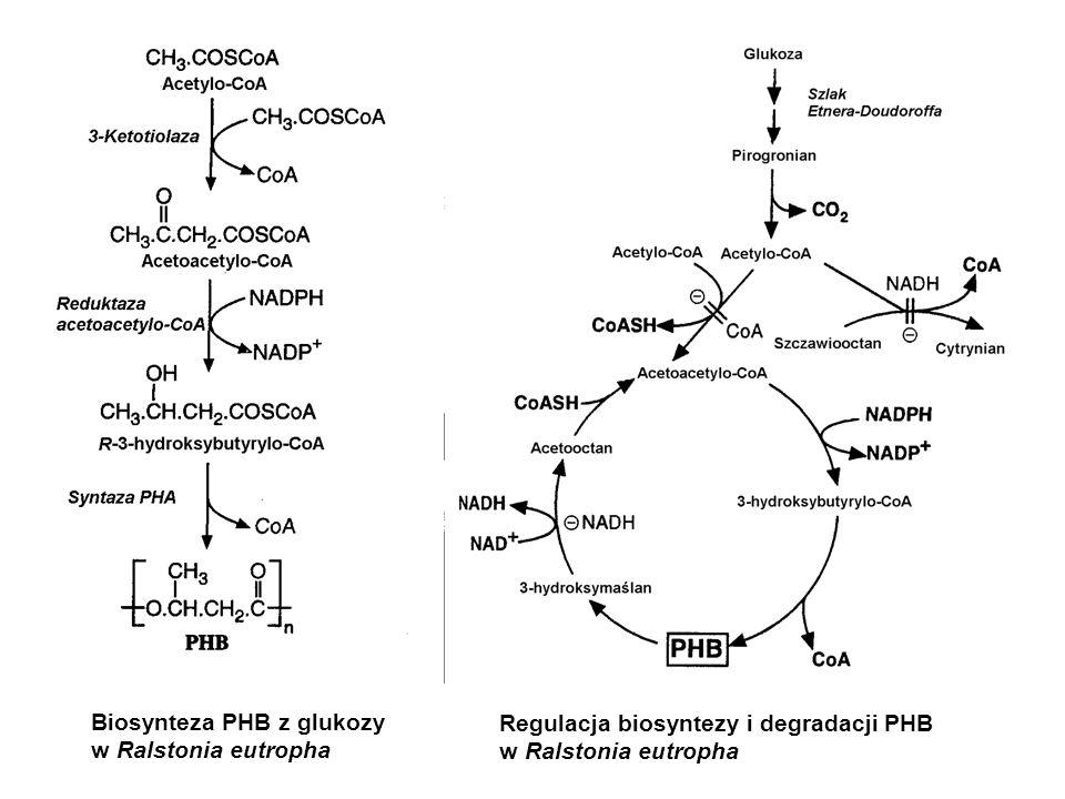 Biosynteza PHB z glukozy w Ralstonia eutropha Regulacja biosyntezy i degradacji PHB w Ralstonia eutropha