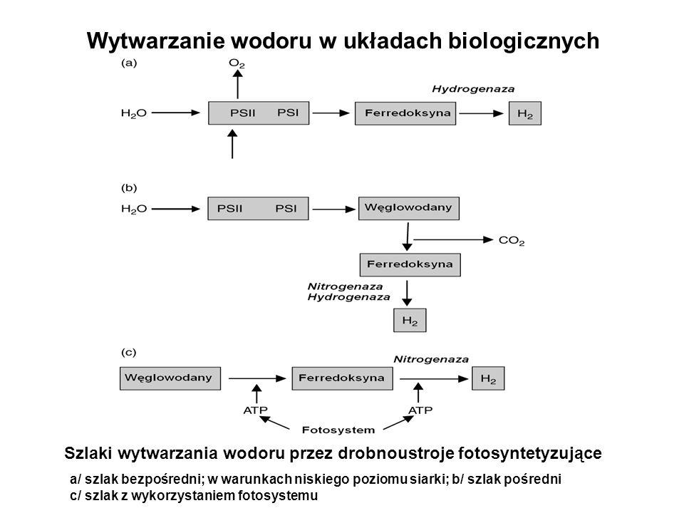 Wytwarzanie wodoru w układach biologicznych Szlaki wytwarzania wodoru przez drobnoustroje fotosyntetyzujące a/ szlak bezpośredni; w warunkach niskiego