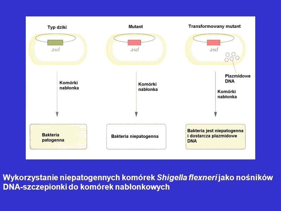 Wykorzystanie niepatogennych komórek Shigella flexneri jako nośników DNA-szczepionki do komórek nabłonkowych