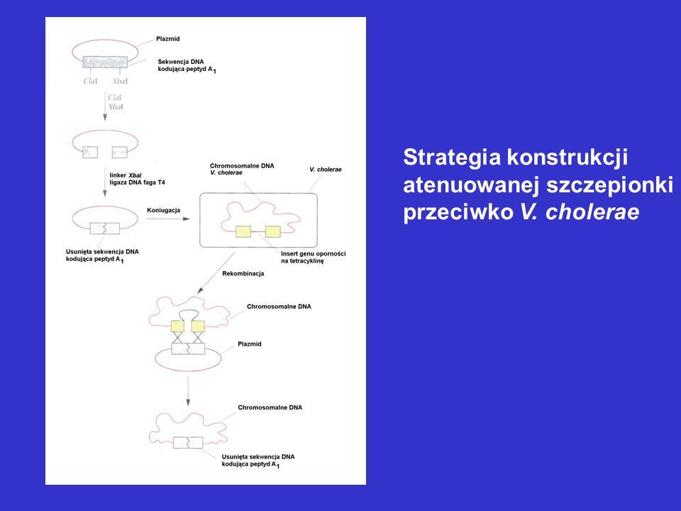 Strategia konstrukcji atenuowanej szczepionki przeciwko V. cholerae