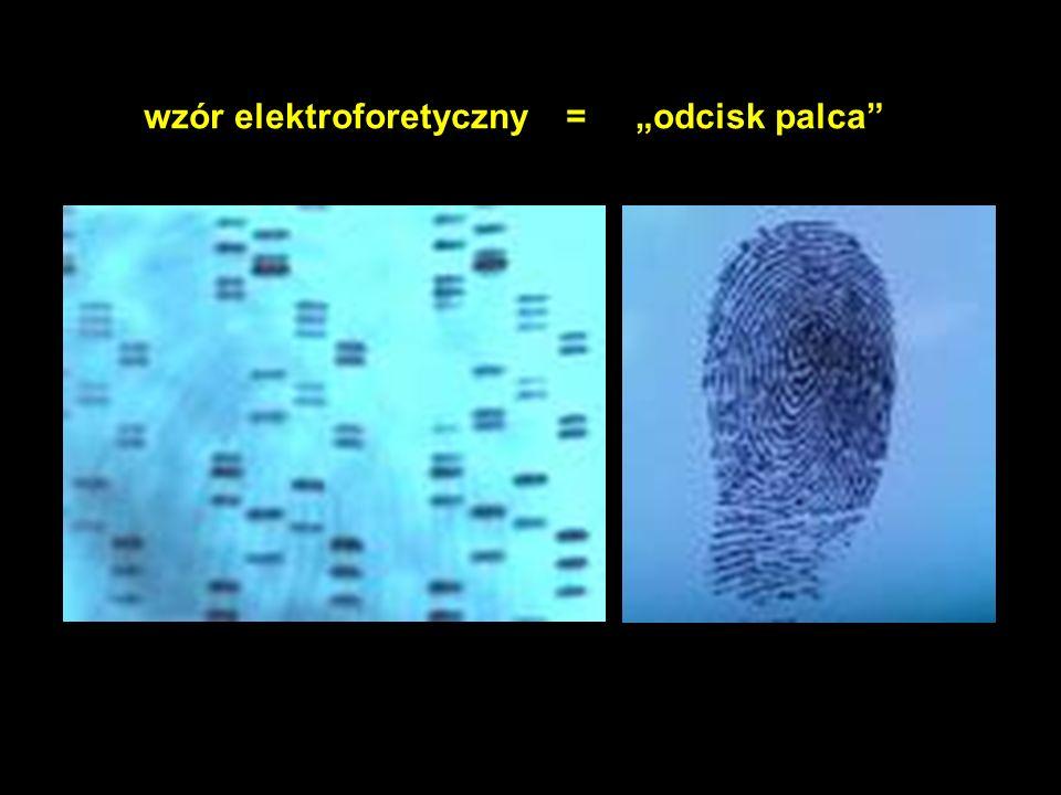 wzór elektroforetyczny = odcisk palca