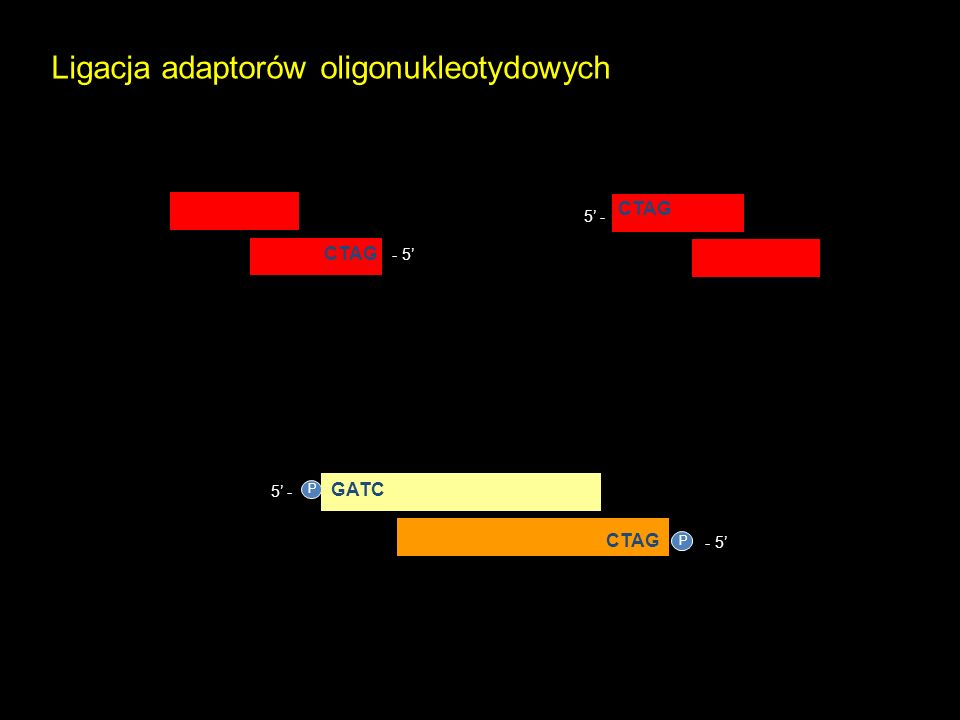 - 5 P 5 - P Ligacja adaptorów oligonukleotydowych GATC CTAG - 5 CTAG 5 - CTAG