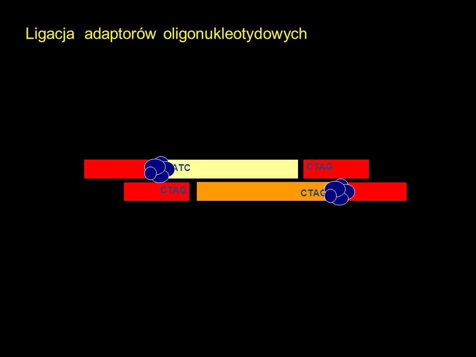 P P Ligacja adaptorów oligonukleotydowych GATC CTAG