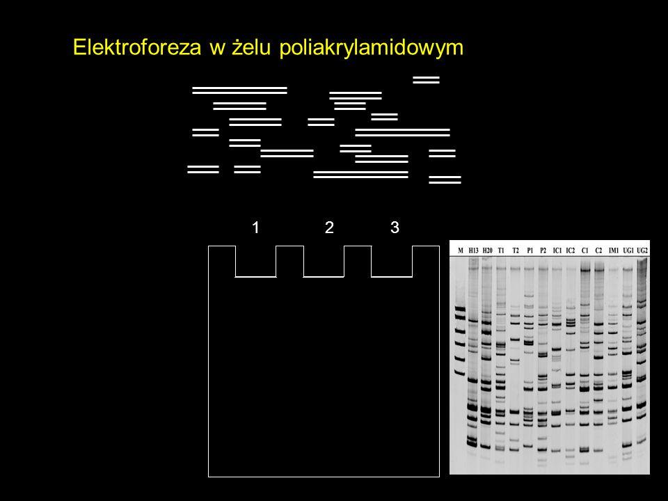 Elektroforeza w żelu poliakrylamidowym 1 2 3