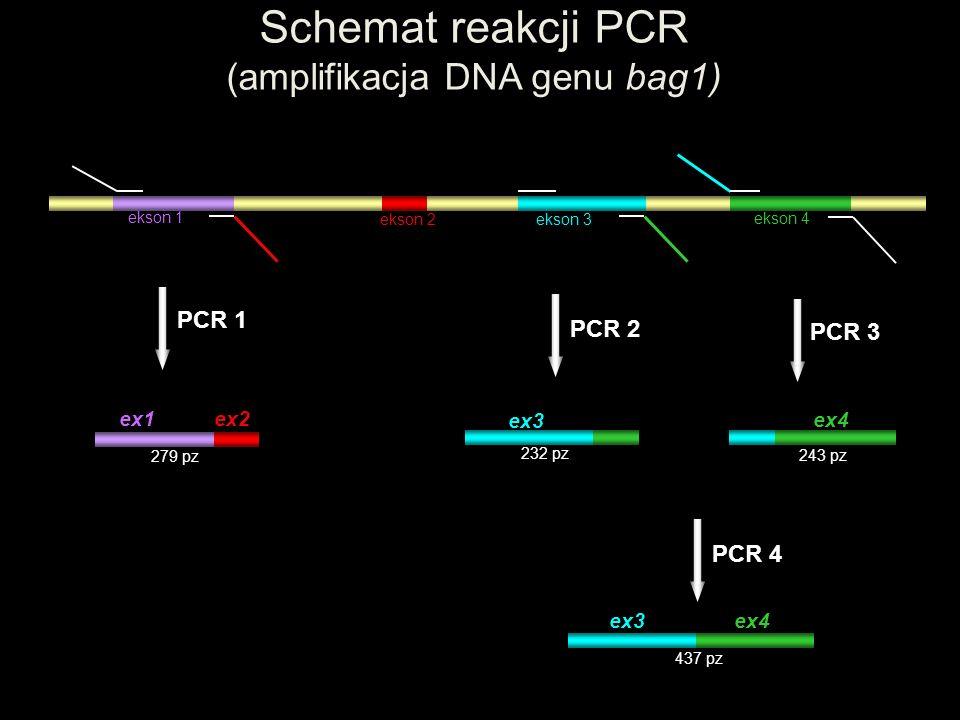 ekson 1 ekson 2 ekson 3 ekson 4 Schemat reakcji PCR (amplifikacja DNA genu bag1) ex1 ex2 PCR 1 279 pz ex3 ex4 PCR 4 437 pz ex4 PCR 3 243 pz ex3 PCR 2
