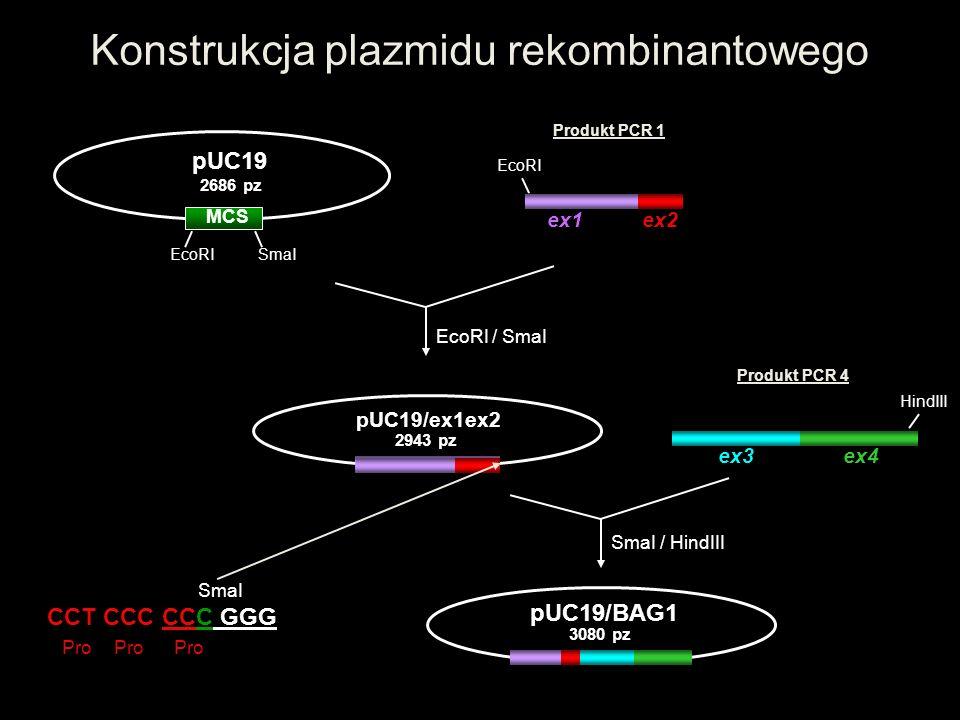 Konstrukcja plazmidu rekombinantowego ex1 ex2 MCS pUC19 2686 pz EcoRI SmaI EcoRI Produkt PCR 1 EcoRI / SmaI pUC19/ex1ex2 2943 pz HindIII Produkt PCR 4