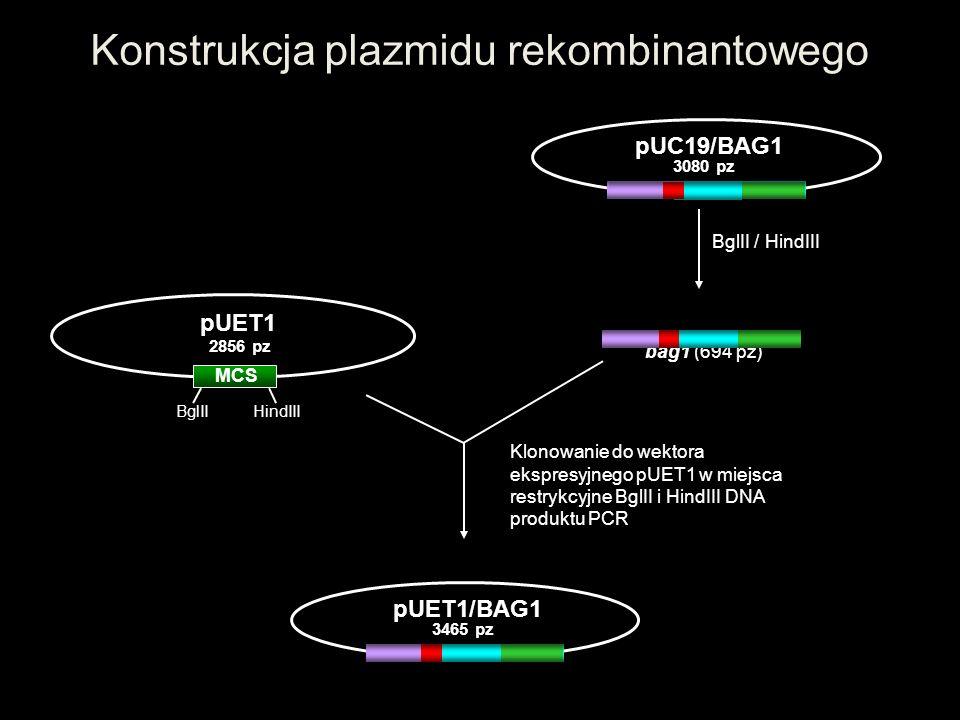 Konstrukcja plazmidu rekombinantowego MCS pUET1 2856 pz BglII HindIII Klonowanie do wektora ekspresyjnego pUET1 w miejsca restrykcyjne BglII i HindIII