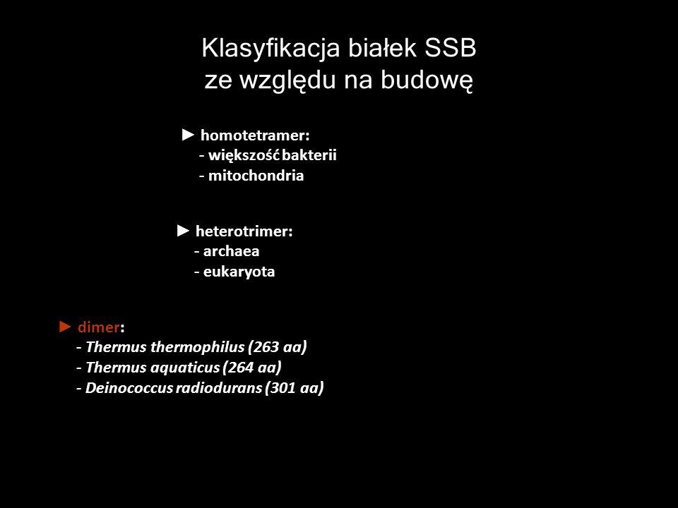 Klasyfikacja białek SSB ze względu na budowę homotetramer: - większość bakterii - mitochondria heterotrimer: - archaea - eukaryota dimer: - Thermus th