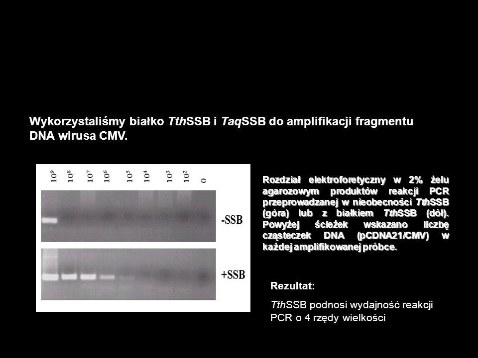 Wykorzystaliśmy białko TthSSB i TaqSSB do amplifikacji fragmentu DNA wirusa CMV. Reakcja PCR – jedną z najbardziej popularnych aplikacji termostabilny