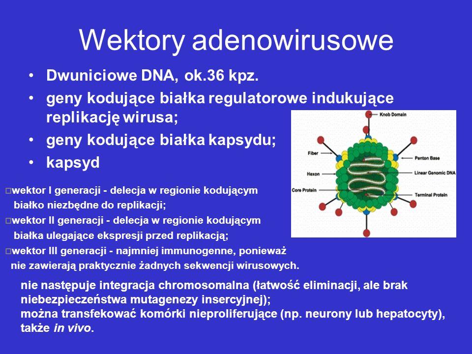 Wektory adenowirusowe Dwuniciowe DNA, ok.36 kpz. geny kodujące białka regulatorowe indukujące replikację wirusa; geny kodujące białka kapsydu; kapsyd