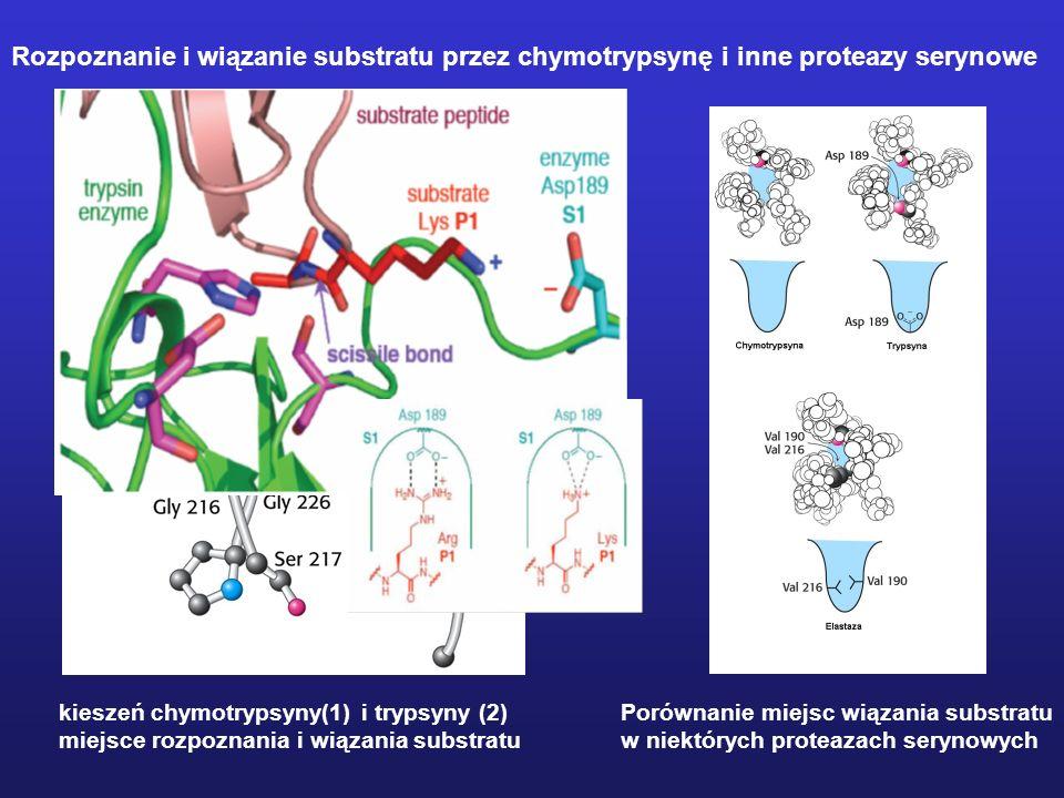 Rozpoznanie i wiązanie substratu przez chymotrypsynę i inne proteazy serynowe Porównanie miejsc wiązania substratu w niektórych proteazach serynowych kieszeń chymotrypsyny(1) i trypsyny (2) miejsce rozpoznania i wiązania substratu