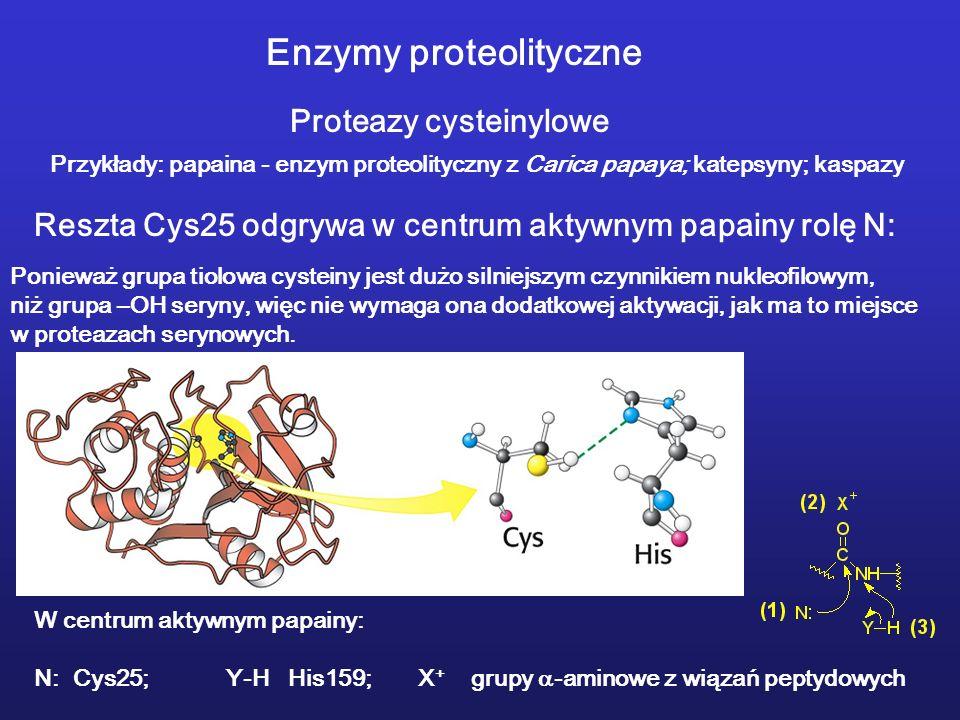 Enzymy proteolityczne Proteazy cysteinylowe Przykłady: papaina - enzym proteolityczny z Carica papaya; katepsyny; kaspazy Reszta Cys25 odgrywa w centrum aktywnym papainy rolę N: Ponieważ grupa tiolowa cysteiny jest dużo silniejszym czynnikiem nukleofilowym, niż grupa –OH seryny, więc nie wymaga ona dodatkowej aktywacji, jak ma to miejsce w proteazach serynowych.