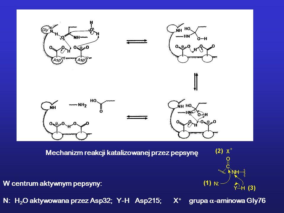 Mechanizm reakcji katalizowanej przez pepsynę W centrum aktywnym pepsyny: N: H 2 O aktywowana przez Asp32; Y-H Asp215; X + grupa -aminowa Gly76