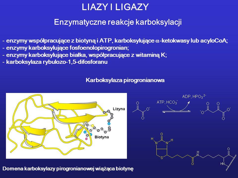 LIAZY I LIGAZY Enzymatyczne reakcje karboksylacji - enzymy współpracujące z biotyną i ATP, karboksylujące -ketokwasy lub acyloCoA; - enzymy karboksylujące fosfoenolopirogronian; - enzymy karboksylujące białka, współpracujące z witaminą K; - karboksylaza rybulozo-1,5-difosforanu Domena karboksylazy pirogronianowej wiążąca biotynę Karboksylaza pirogronianowa