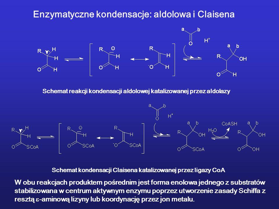 Enzymatyczne kondensacje: aldolowa i Claisena Schemat reakcji kondensacji aldolowej katalizowanej przez aldolazy Schemat kondensacji Claisena katalizowanej przez ligazy CoA W obu reakcjach produktem pośrednim jest forma enolowa jednego z substratów stabilizowana w centrum aktywnym enzymu poprzez utworzenie zasady Schiffa z resztą -aminową lizyny lub koordynację przez jon metalu.