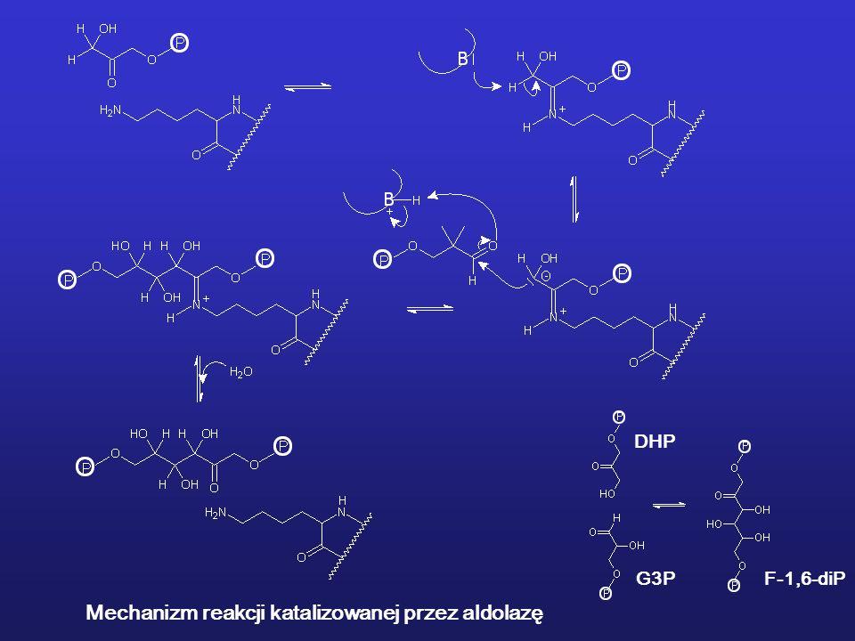 Mechanizm reakcji katalizowanej przez aldolazę DHP G3PF-1,6-diP