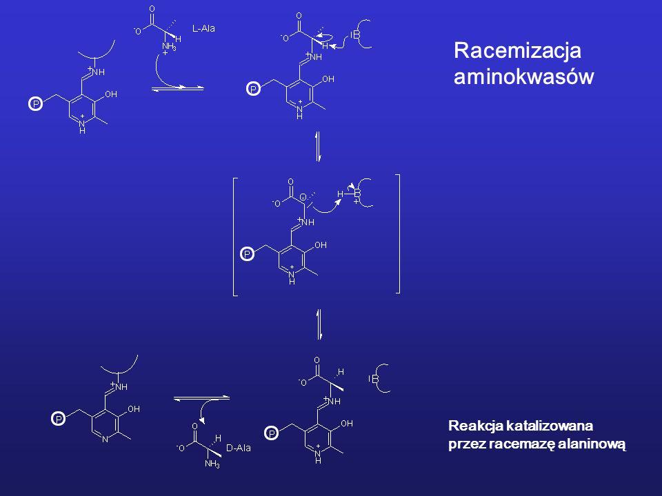 Racemizacja aminokwasów Reakcja katalizowana przez racemazę alaninową