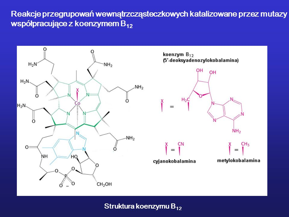 Reakcje przegrupowań wewnątrzcząsteczkowych katalizowane przez mutazy współpracujące z koenzymem B 12 Struktura koenzymu B 12