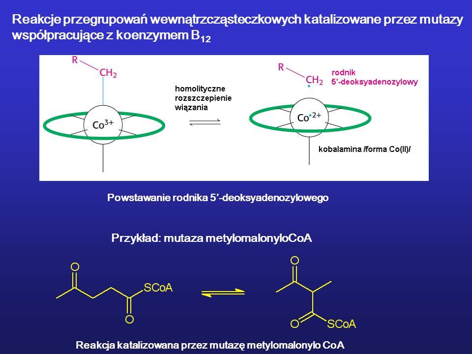 Reakcje przegrupowań wewnątrzcząsteczkowych katalizowane przez mutazy współpracujące z koenzymem B 12 Przykład: mutaza metylomalonyloCoA Reakcja katalizowana przez mutazę metylomalonylo CoA Powstawanie rodnika 5-deoksyadenozylowego