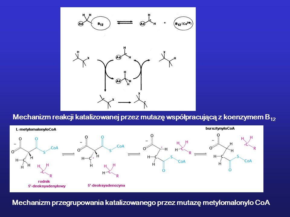 Mechanizm reakcji katalizowanej przez mutazę współpracującą z koenzymem B 12 Mechanizm przegrupowania katalizowanego przez mutazę metylomalonylo CoA