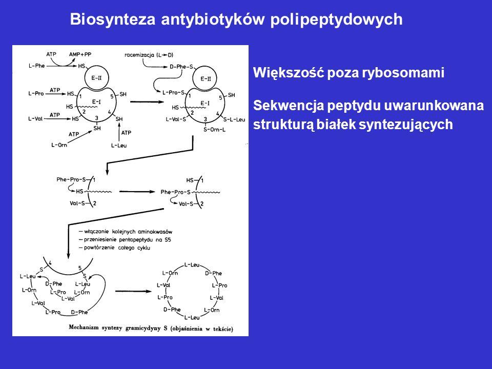 Biosynteza związków -laktamowych U grzybów kwas -amino- adypinowy powstaje jako metabolit pośredni w szlaku biosyntezy lizyny U bakterii prekursorem j