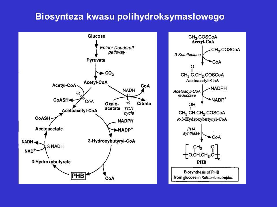 Reakcja katalizowana przez enzym syntezujący dekstran (1 6)Glc n + sacharoza (1 6)Glc n+1 + D-fruktoza Biosynteza dekstranu Biosynteza glikogenu – inn