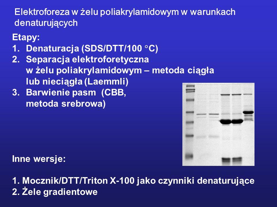 Etapy: 1.Denaturacja (SDS/DTT/100 C) 2.Separacja elektroforetyczna w żelu poliakrylamidowym – metoda ciągła lub nieciągła (Laemmli) 3.Barwienie pasm (