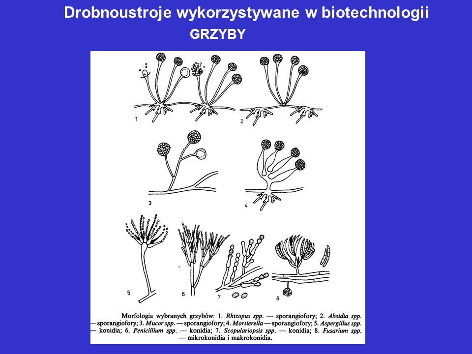Drobnoustroje wykorzystywane w biotechnologii GRZYBY