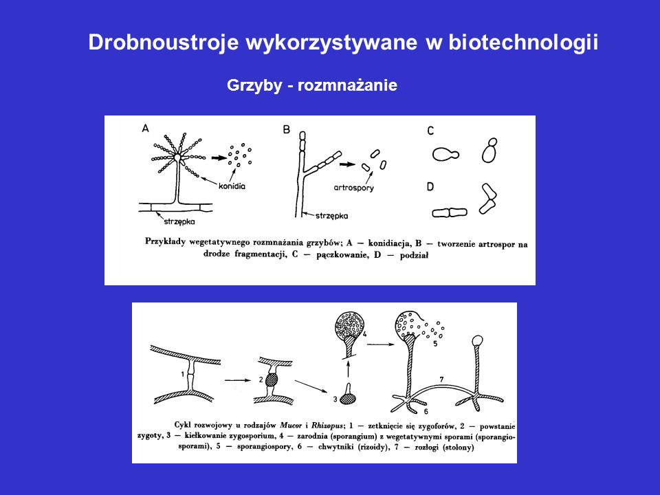Drobnoustroje wykorzystywane w biotechnologii Grzyby - rozmnażanie
